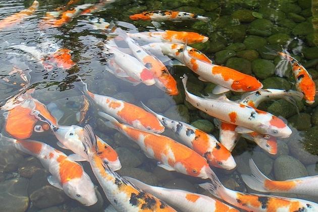 Jual Bibit Ikan Koi Harga Murah Dan Berkualitas