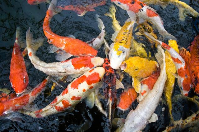 Harga Bibit Ikan Koi Siap Kirim Seluruh Indonesia