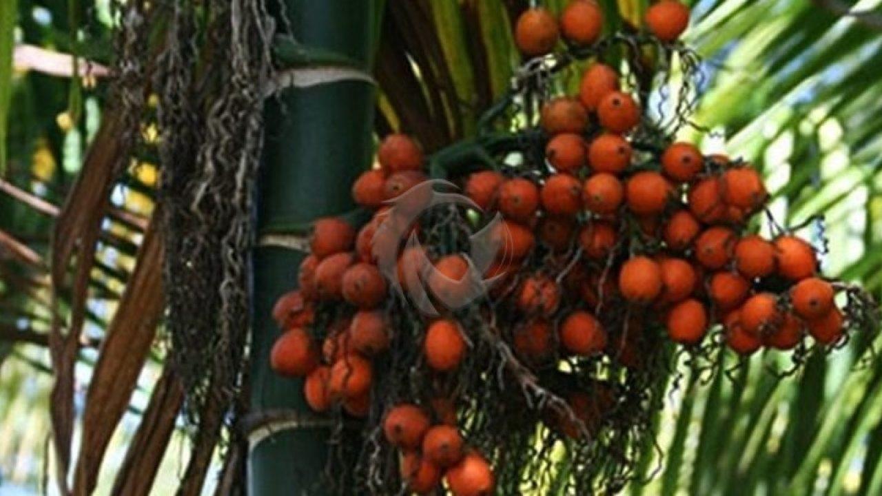 manfaat buah jambe bagi tubuh