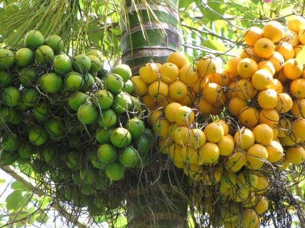 Budidaya tanaman pinang serta manfaat